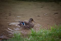 Female Mallard or Wild Duck. On the shore of a lake Royalty Free Stock Images