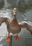 Female mallard Stock Image