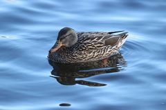 Female Mallard in Winter. A female mallard duck Anas platyrhynchos swimming on a lake in winter Royalty Free Stock Photo