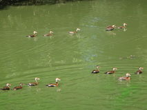 Female mallards. Flock of brown ducks swimming in a green pond Royalty Free Stock Photography