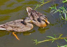 Female Mallards. Two Mallard Hens Swimming in a pond Royalty Free Stock Image