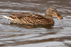 Female Mallared Drinking. A female Mallard drinking while swimming in New Mexico Royalty Free Stock Photo