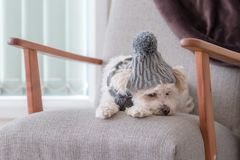 Small lap dog lying on a couch indoors stock photography