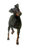 Female manchester terrier Stock Photo