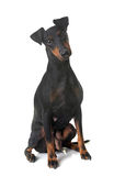 Female manchester terrier. In front of white background royalty free stock photo