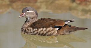 Female mandarin duck. Royalty Free Stock Photo