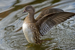 The female Mandarin Duck (Aix galericulata). The beautiful female Mandarin Duck (Aix galericulata) airing her wings in central Uppsala, Sweden royalty free stock photography
