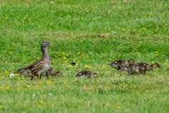 Female mandarin duck aix galericulata and family of ducklings. Female brown mandarin duck aix galericulata and family of ducklings royalty free stock photography