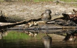 A female Mandarin Duck Aix galericulata resting with her cute baby ducklings at the edge of a lake with their reflections showin. A pretty female Mandarin Duck Stock Photos