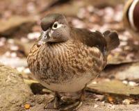 Female Mandarin Duck. Near pond Stock Photos