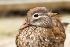 Female mandarin duck Royalty Free Stock Image