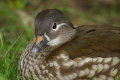 Female Mandarin duck resting Stock Photo