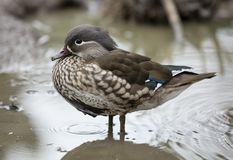 A female Mandarin Duck stood in water. Viewed from the side Royalty Free Stock Image