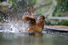 Female mandarin duck Stock Image