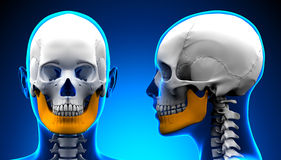 Female Mandible Bone Skull Anatomy - blue concept Royalty Free Stock Photo