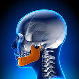 Female Mandible - Jaw Anatomy Stock Photo