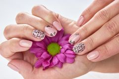 Female manicured hands holding chrysanthemum. Little pink chrysanthemum in beautiful young woman hand with nude manicure. Women hands hygiene and care Stock Image