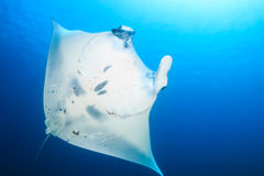 Free Female Manta Alfredi.  Manta Point, North Komodo Stock Photography - 49234772