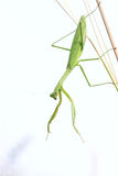 Female mantis Royalty Free Stock Images