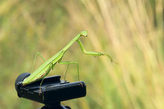Female mantis Royalty Free Stock Image