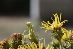 The female mantis religios. Predatory insects mantis Stock Images