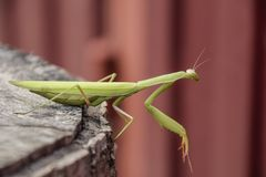 Female mantis sits on a tree stump. Insect predator mantis. Stock Photography