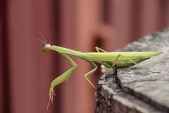 Female mantis sits on a tree stump. Insect predator mantis. Royalty Free Stock Photography