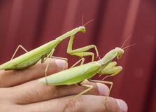 Female and the mantis are sitting on the palm of a man. Insect predator mantis. Royalty Free Stock Photos