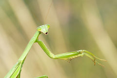 Female mantis Royalty Free Stock Photo