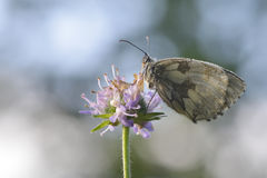 Female Marbled white Stock Image
