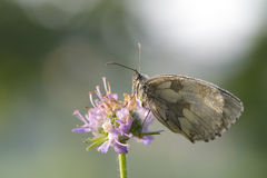 Female Marbled white Royalty Free Stock Image