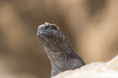 A Female Marine Iguana Looking Over a Rock Royalty Free Stock Photo