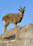 Female Markhor Stock Photography