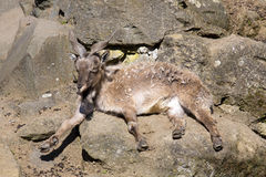 Female Markhor, Capra Falconeri, With Twisted Horns Royalty Free Stock Image