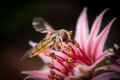 A female marmalade hoverfly sitting on a houseleek flower royalty free stock image