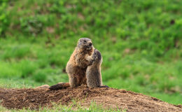 Female marmot with young Royalty Free Stock Image