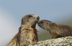 Female marmot with young on rock Stock Photos