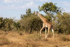 Female Masai giraffe walking in African bush landscape in Kenya royalty free stock photos