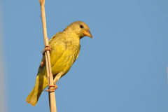 Female masked weaver in its environment Stock Photos