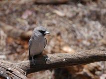 Female masked wood swallow stock photos