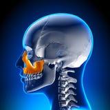 Female Maxilla - Skull Anatomy Royalty Free Stock Photo