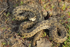 Female meadow adder in natural habitat Stock Photography