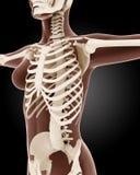 Female medical skeleton Stock Photo