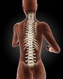 Female medical skeleton Royalty Free Stock Photography