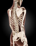 Female medical skeleton Stock Image