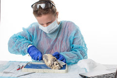 Female medical student in anatomy class. Sitting at a bench in the laboratory in protective clothing and a mask dissecting a sheep heart Stock Photo