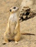 Female Meerkat. Meerkat standing by the cave stock photo