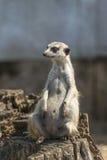 Female meerkat sitting. Watchful meerkat female meerkat sitting on wooden stump Royalty Free Stock Photography