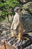 Female meerkat stands on his hind legs and looks into the distance Stock Photo