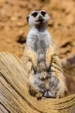 Female Meerkat, Suricata suricatta on guard Stock Photos